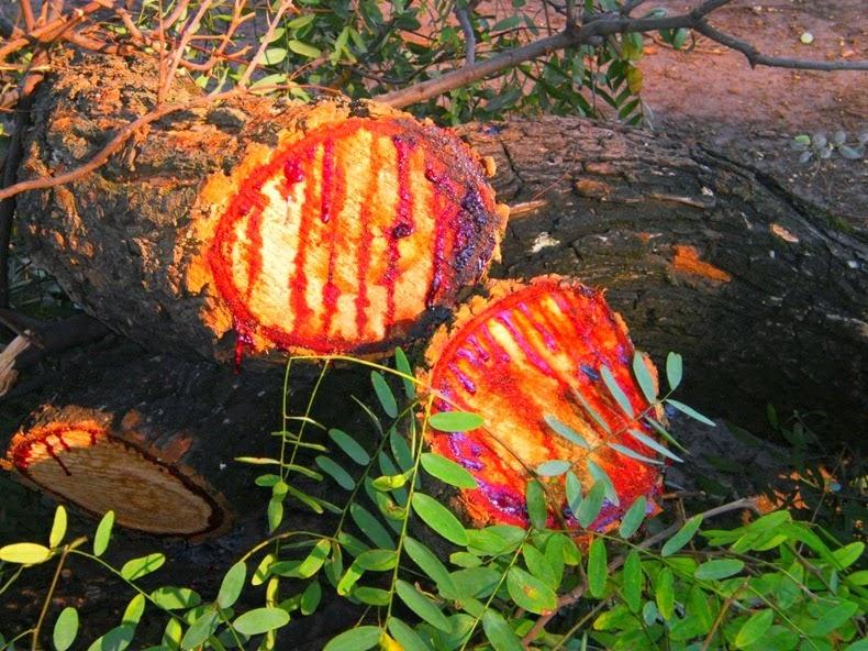 Kinh hãi: Loài cây chảy nhựa như máu ở châu Phi - 4