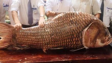 """TP.HCM: Chi gần nửa tỷ mua cá hô """"khủng"""", nặng 130kg - 1"""