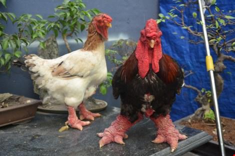 Chim công, gà khủng, dưa hấu thỏi vàng... ra chợ tết - 2