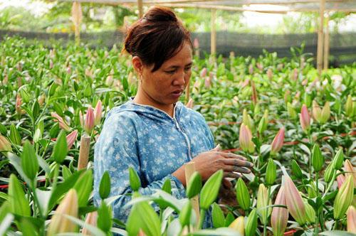Hà Nội: Hoa ly bung nở trước Tết, nông dân khóc ròng - 2