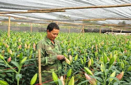 Hà Nội: Hoa ly bung nở trước Tết, nông dân khóc ròng - 3