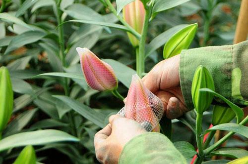 Hà Nội: Hoa ly bung nở trước Tết, nông dân khóc ròng - 6
