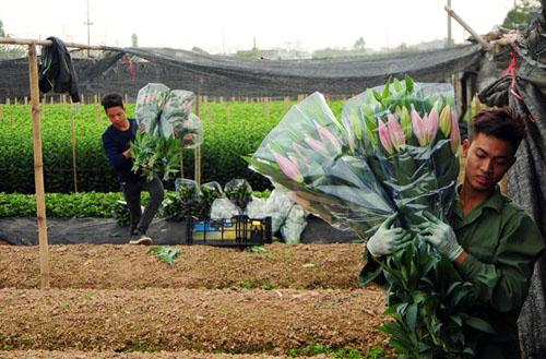 Hà Nội: Hoa ly bung nở trước Tết, nông dân khóc ròng - 7