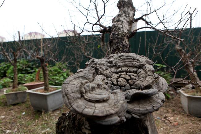 """Ngắm những gốc đào cổ """"thế độc"""" ở Thủ đô - 12"""