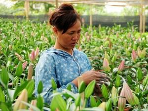 Tin tức trong ngày - Hà Nội: Hoa ly bung nở trước Tết, nông dân khóc ròng