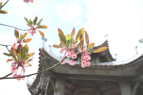 Đào chuông - khúc cầu an và hạnh phúc trên Bà Nà Hills - 4