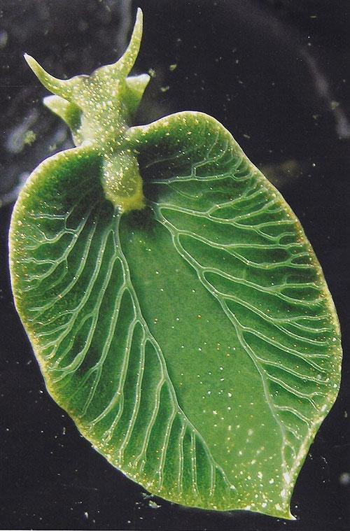 Bí ẩn loài 'nửa thực vật, nửa động vật' duy nhất trên Trái Đất - 4