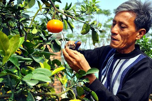 """Vườn cây 10 quả chơi Tết """"siêu lạ"""" của lão nông Hà thành - 2"""