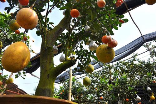 """Vườn cây 10 quả chơi Tết """"siêu lạ"""" của lão nông Hà thành - 5"""
