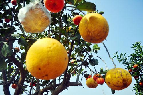"""Vườn cây 10 quả chơi Tết """"siêu lạ"""" của lão nông Hà thành - 6"""