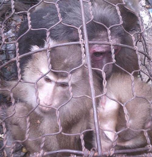 """""""Đăng ảnh cổ súy hành vi giết khỉ cũng phải phạt nặng"""" - 1"""