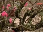 """Video An ninh - Thị trường cho thuê đào Tết Bính Thân """"nóng"""" từng ngày"""