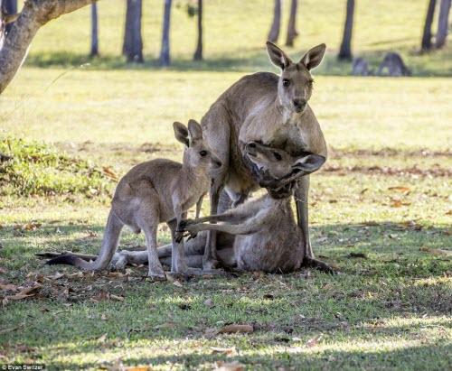 Rớt nước mắt cảnh kangaroo mẹ cố ôm con trước khi chết - 1