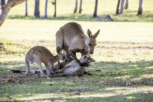 Rớt nước mắt cảnh kangaroo mẹ cố ôm con trước khi chết - 2