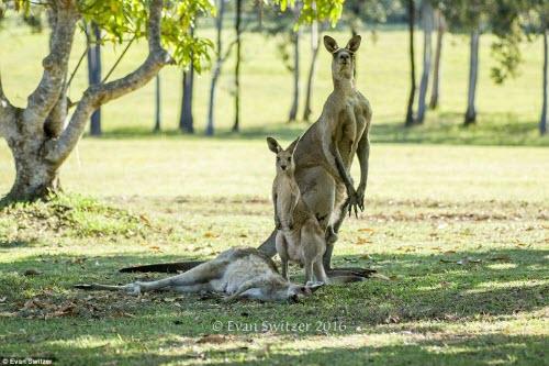 Rớt nước mắt cảnh kangaroo mẹ cố ôm con trước khi chết - 3
