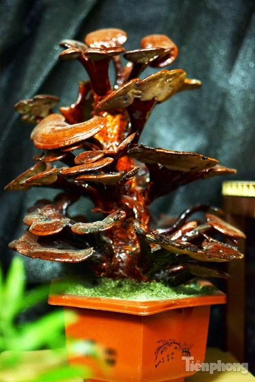 Cận cảnh nấm linh chi bonsai tiền triệu chơi Tết - 10