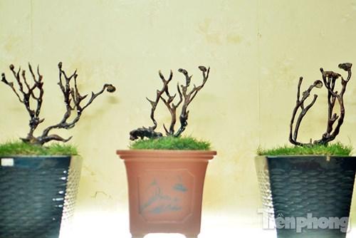 Cận cảnh nấm linh chi bonsai tiền triệu chơi Tết - 14