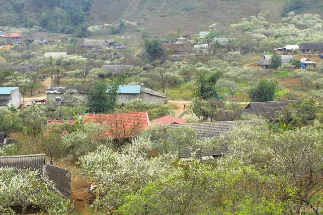 Cả vùng đất của huyện Vân Hồ và Mộc Châu đều có rất nhiều đào và mận xen kẽ những mái nhà của người dân.
