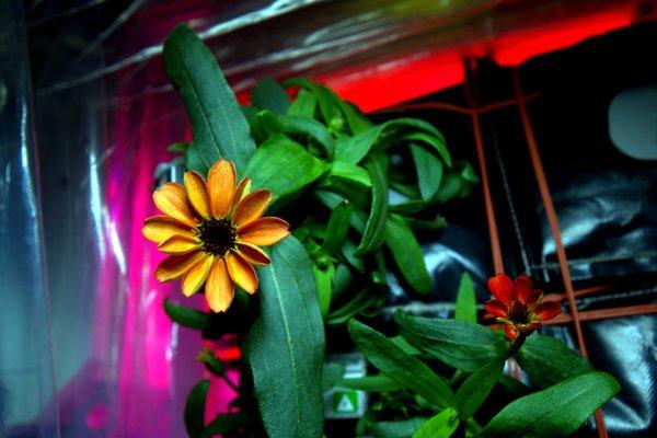Bông hoa đầu tiên nở ngoài trái đất - 1
