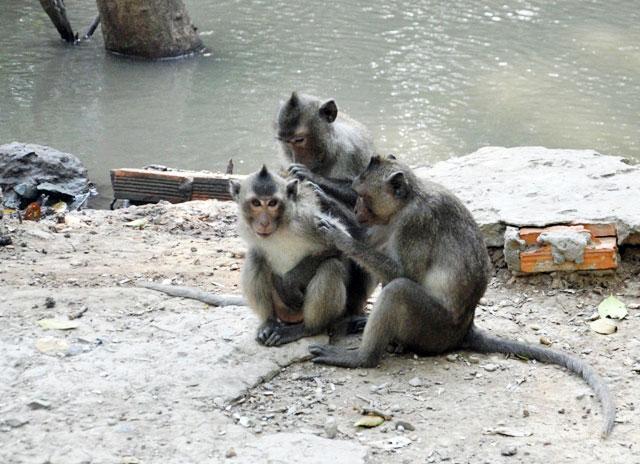 """Đặt chân đến """"vương quốc khỉ"""" trên ốc đảo xanh ở Sài Gòn - 3"""
