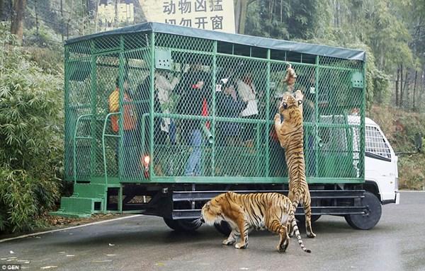 """Hãi hùng vườn thú """"nhốt"""" du khách để thú dữ quây - 1"""