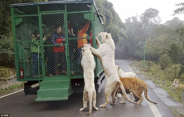 """Hãi hùng vườn thú """"nhốt"""" du khách để thú dữ quây - 2"""