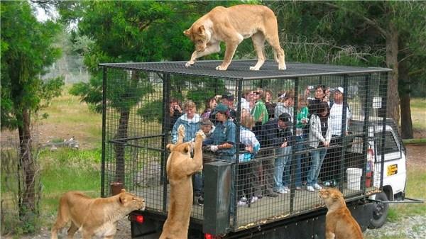 """Hãi hùng vườn thú """"nhốt"""" du khách để thú dữ quây - 4"""