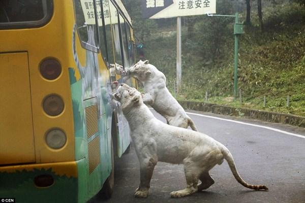 """Hãi hùng vườn thú """"nhốt"""" du khách để thú dữ quây - 5"""