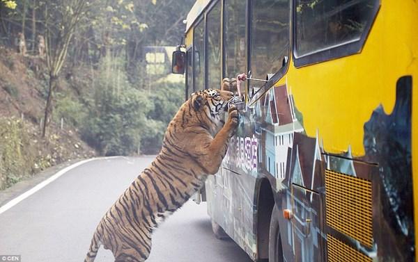 """Hãi hùng vườn thú """"nhốt"""" du khách để thú dữ quây - 6"""