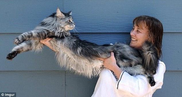 Những chú mèo 'khổng lồ' gây sốt mạng xã hội - 2