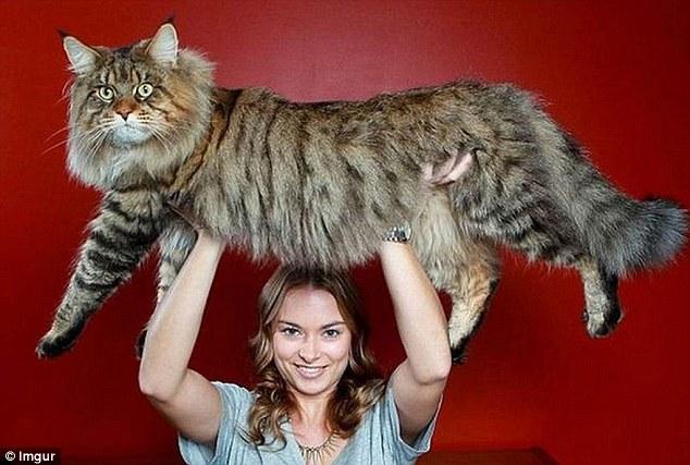 Những chú mèo 'khổng lồ' gây sốt mạng xã hội - 3