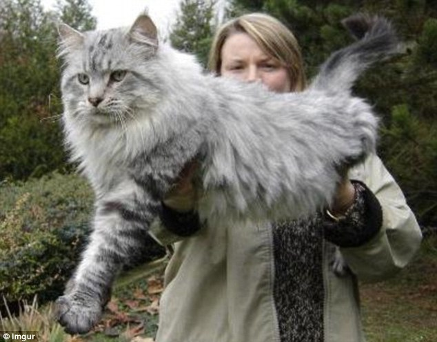 Những chú mèo 'khổng lồ' gây sốt mạng xã hội - 7