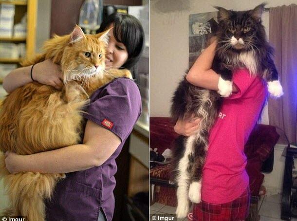 Những chú mèo 'khổng lồ' gây sốt mạng xã hội - 8