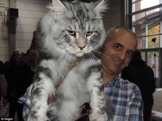 Những chú mèo 'khổng lồ' gây sốt mạng xã hội - 9