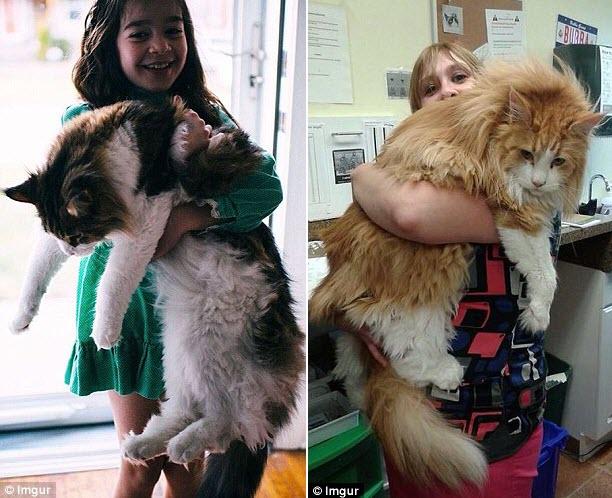 Những chú mèo 'khổng lồ' gây sốt mạng xã hội - 12