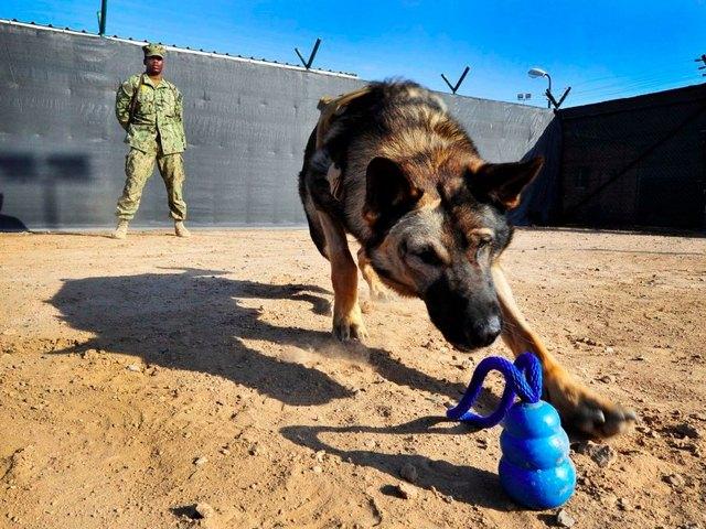 Chó nghiệp vụ của đặc nhiệm SEAL được luyện thế nào? - 2