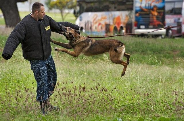 Chó nghiệp vụ của đặc nhiệm SEAL được luyện thế nào? - 8