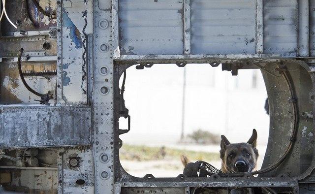 Chó nghiệp vụ của đặc nhiệm SEAL được luyện thế nào? - 11