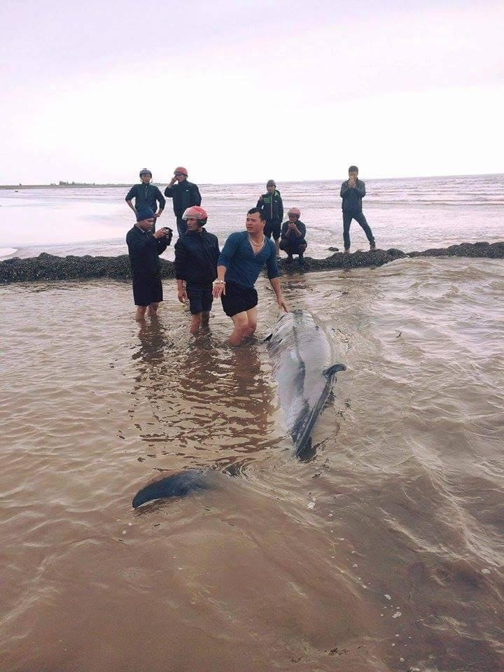 Cá voi sống nặng gần 3 tấn dạt vào bãi biển Nam Định - 1