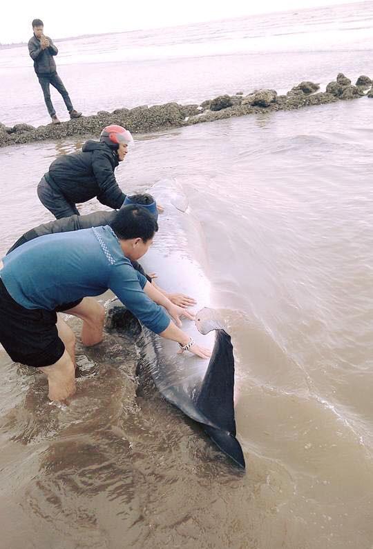 Cá voi sống nặng gần 3 tấn dạt vào bãi biển Nam Định - 2