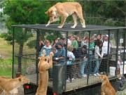 """Du lịch - Hãi hùng vườn thú """"nhốt"""" du khách để thú dữ quây"""