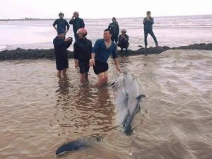 Tin tức trong ngày - Cá voi sống nặng gần 3 tấn dạt vào bãi biển Nam Định