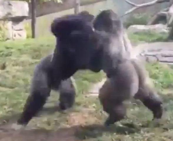 """Video: Hai chú khỉ đột đấm nhau như quyền anh """"nhà nghề"""" - 1"""