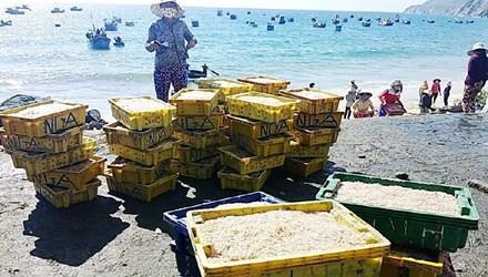 Ngư dân trúng đậm cá cơm mồm tinh kiếm chục triệu ngày - 1