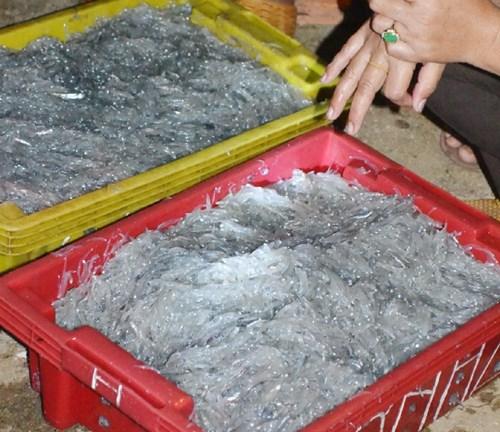 Ngư dân trúng đậm cá cơm mồm tinh kiếm chục triệu ngày - 2