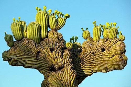 """Đã mắt ngắm những """"gã khổng lồ"""" giữa sa mạc Sonoran - 1"""