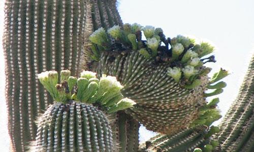 """Đã mắt ngắm những """"gã khổng lồ"""" giữa sa mạc Sonoran - 9"""