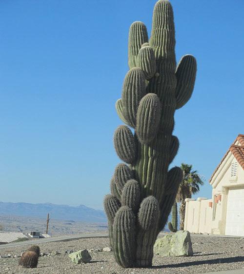 """Đã mắt ngắm những """"gã khổng lồ"""" giữa sa mạc Sonoran - 10"""
