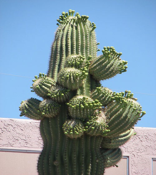 """Đã mắt ngắm những """"gã khổng lồ"""" giữa sa mạc Sonoran - 11"""