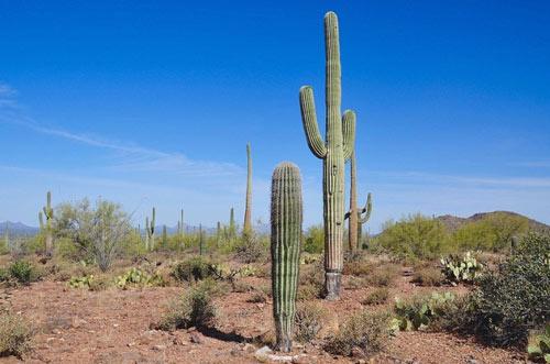 """Đã mắt ngắm những """"gã khổng lồ"""" giữa sa mạc Sonoran - 2"""